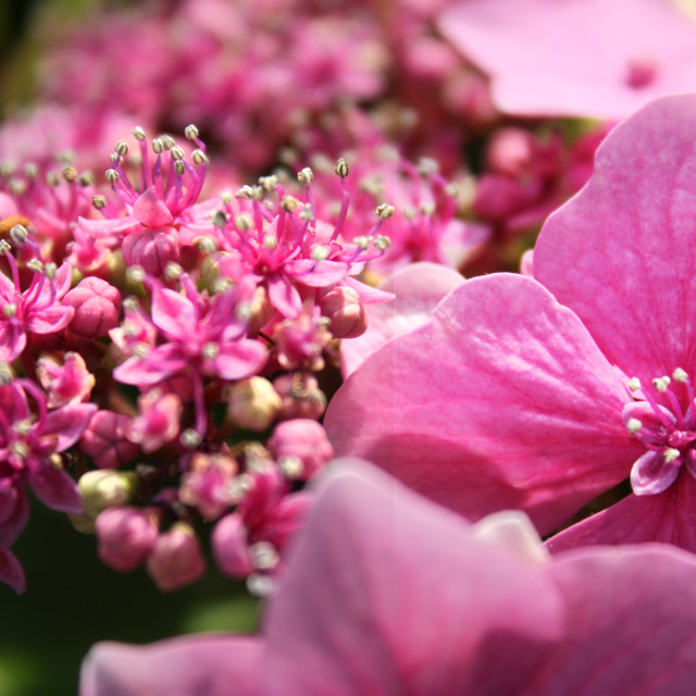 """Close up of pink Hydrangea flower umbel"" stock image"