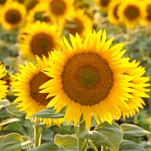 """sunflowers field"" stock image"
