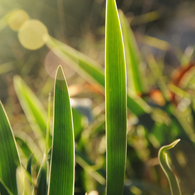 """""""lilies backlight"""" stock image"""