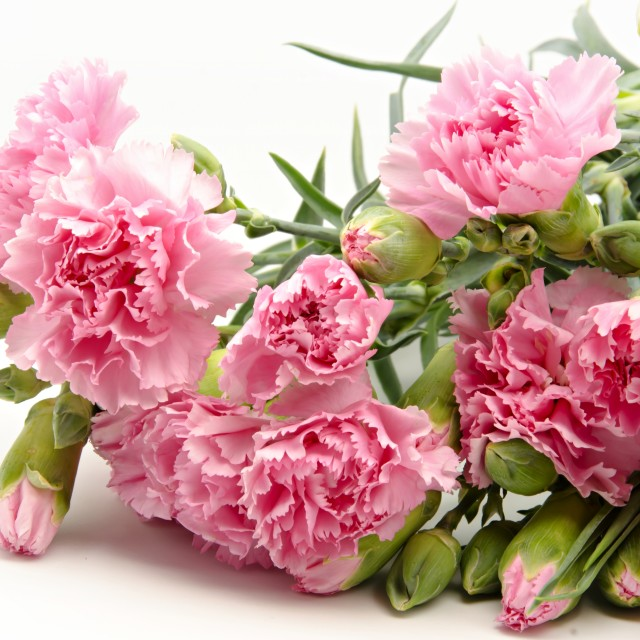 """Pink carnations"" stock image"