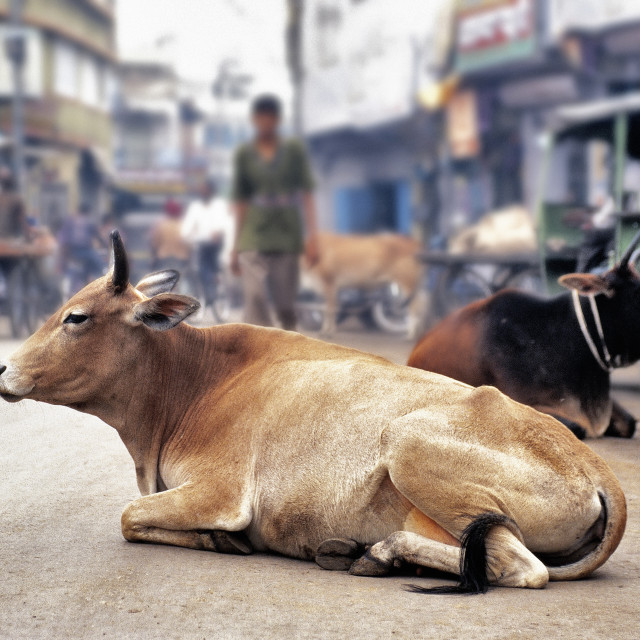 """A cow resting in the middle of the street"" stock image"