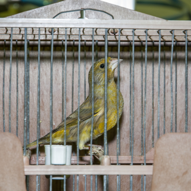 """""""Greenfinch in cage"""" stock image"""