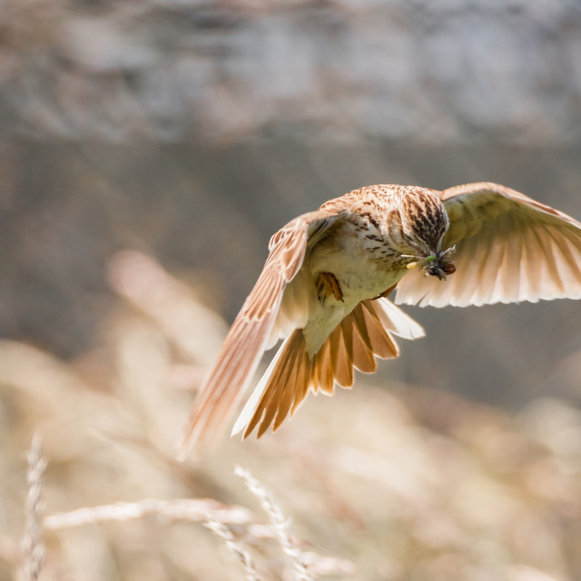 """Skylark in full flight with grubs for its young"" stock image"