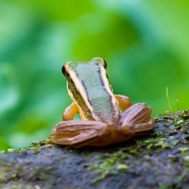 """Common Greenback Frog (Rana erythraea)"" stock image"