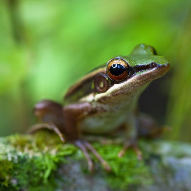 """Common Greenback frog"" stock image"