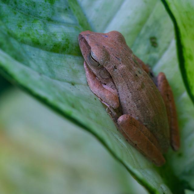 """""""Sleeping Frog"""" stock image"""