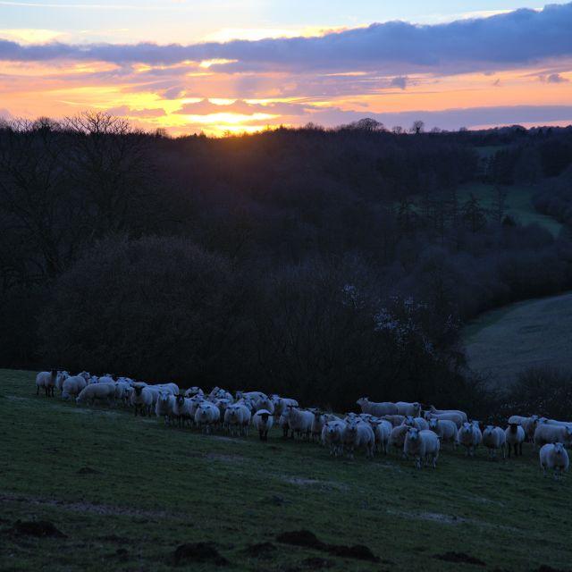 """Sheepish Sunset"" stock image"