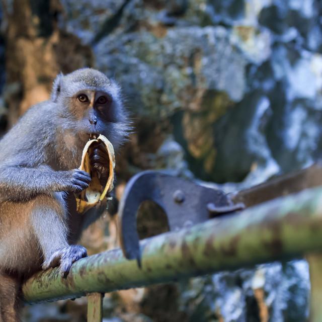 """""""Monkey at Batu Caves"""" stock image"""