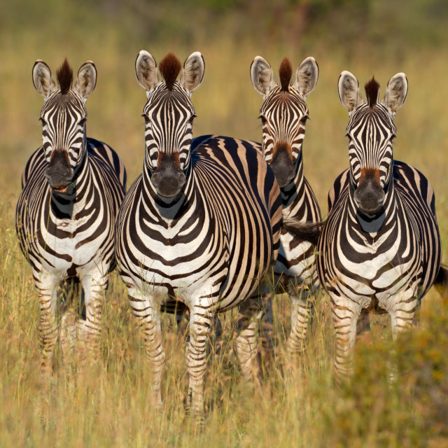 """Plains Zebras"" stock image"