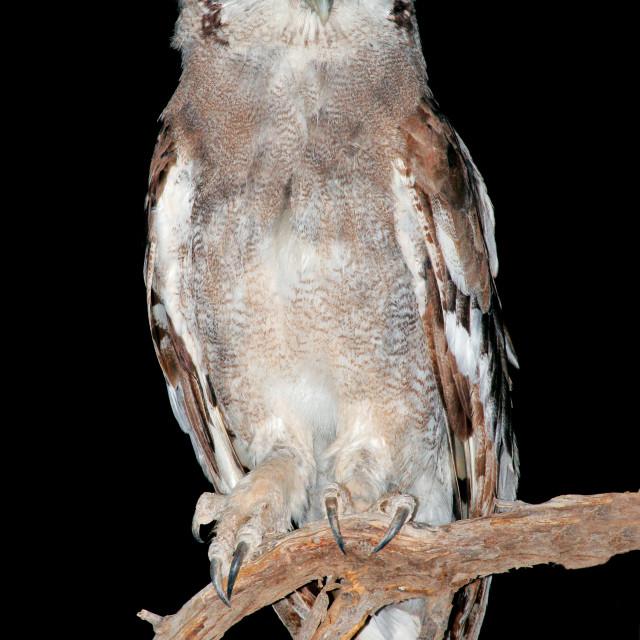 """Giant eagle owl"" stock image"