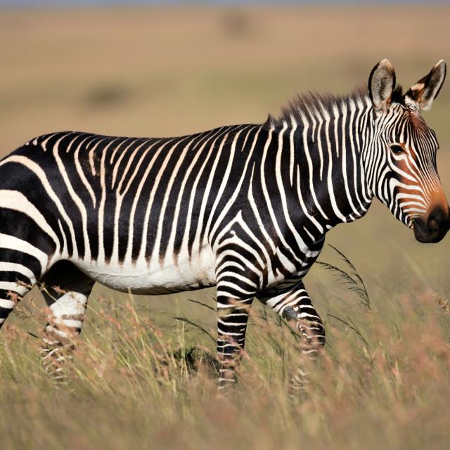 """Cape Mountain Zebra"" stock image"