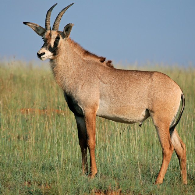 """Roan antelope"" stock image"