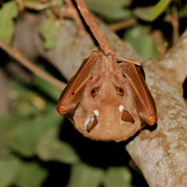 """Gambian Epauletted fruit bat"" stock image"