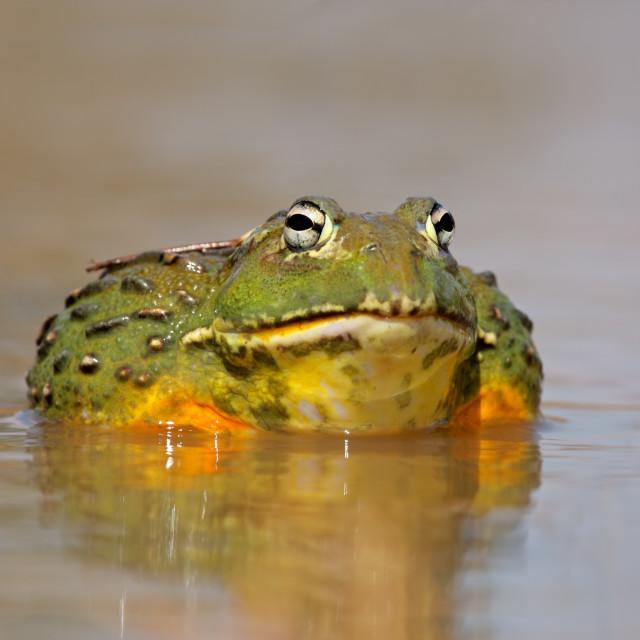 """""""African giant bullfrog"""" stock image"""