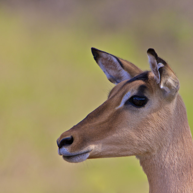 """Impala, South Africa"" stock image"