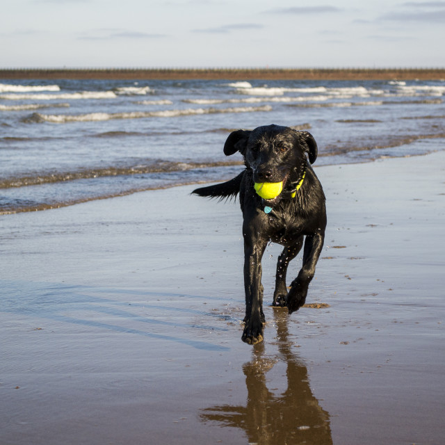 """Black Labrador playing fetch the tennis ball on the beach"" stock image"