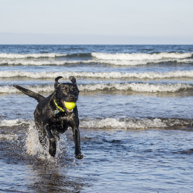 """Black Labrador dog fetching tennis ball from the sea"" stock image"
