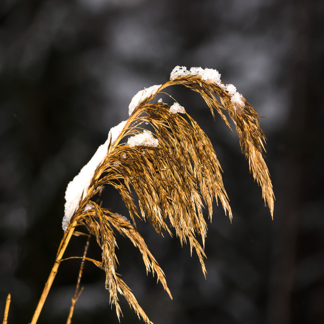 """""""Dry grass with snow"""" stock image"""
