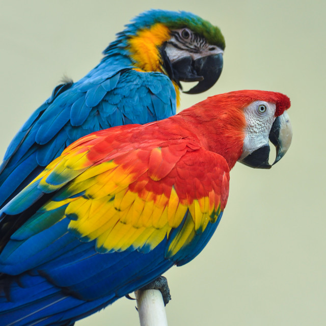 """""""two parrots"""" stock image"""