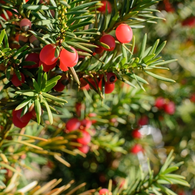 """""""Fresh red juniper berries ripening on a twig."""" stock image"""