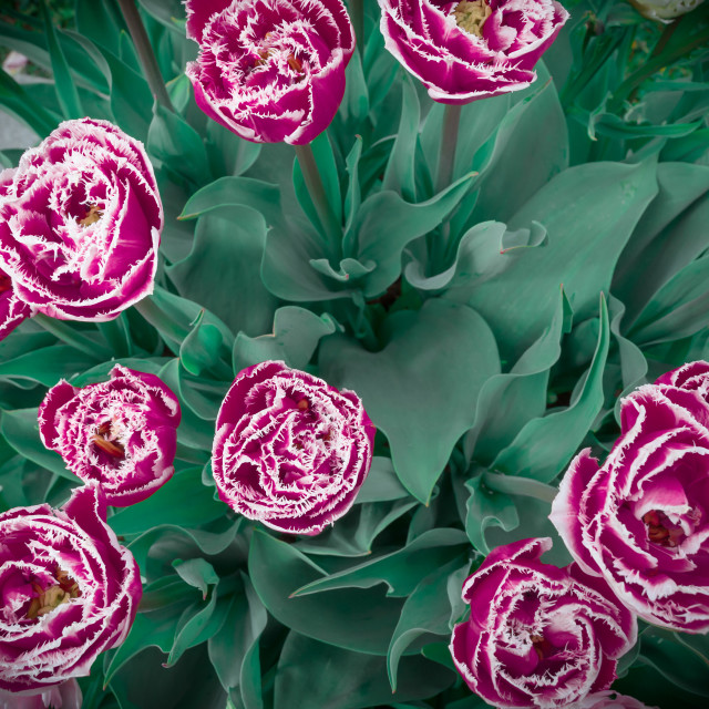 """Frosty tulips"" stock image"