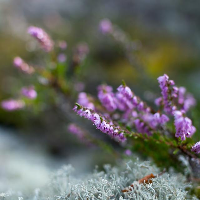 """""""Heather and moss selective focus closeup"""" stock image"""