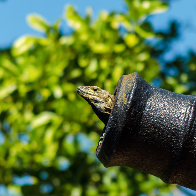 """A Lizard in a Cannon"" stock image"