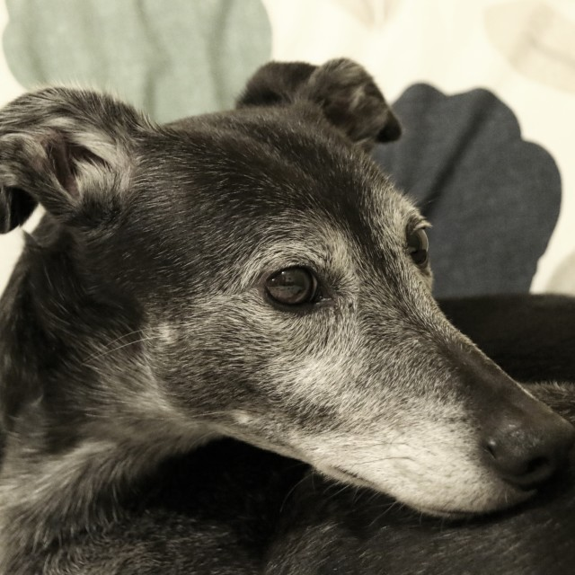 """Lurcher Portrait"" stock image"