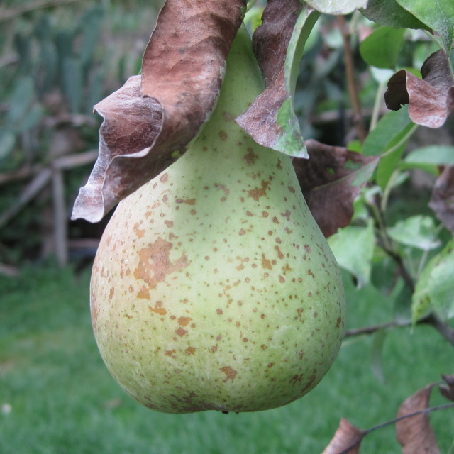 """""""Pears in Italy"""" stock image"""