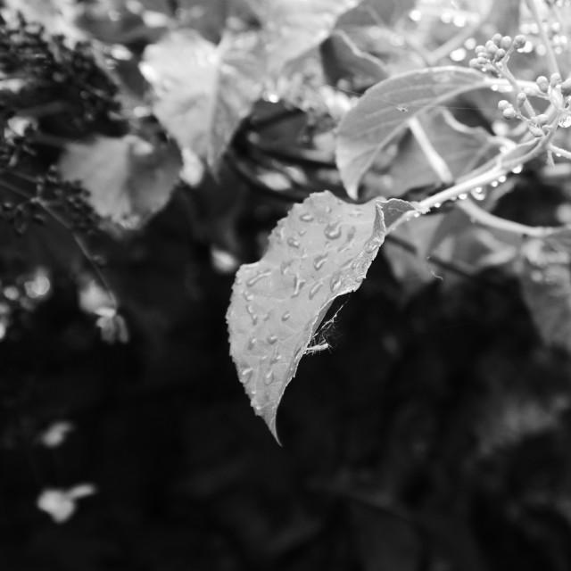 """Raindrops on leaf and stem"" stock image"