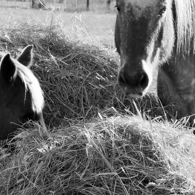 """Bury you head in the hay"" stock image"