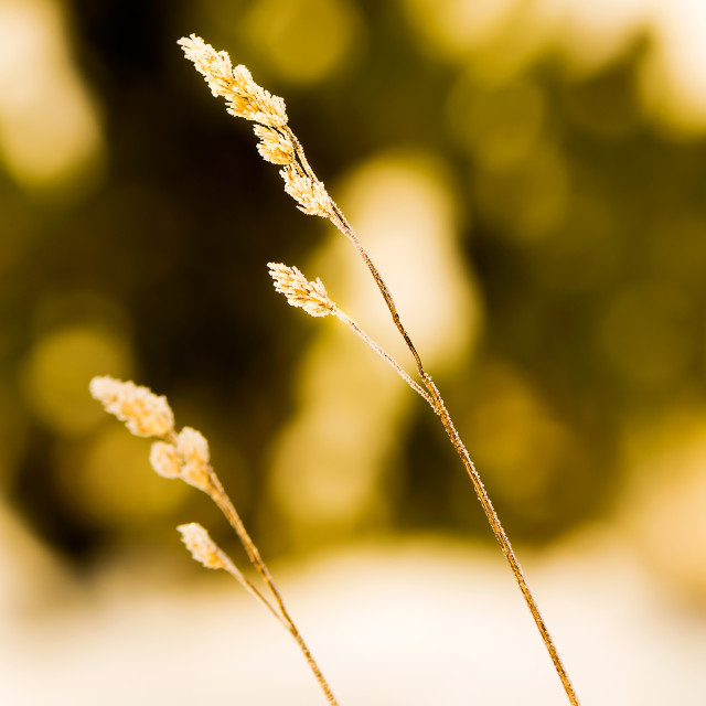 """Closeup of a miscanthus grass straw with frost. Shallow DOF."" stock image"