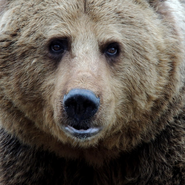 """""""European Brown Bear"""" stock image"""