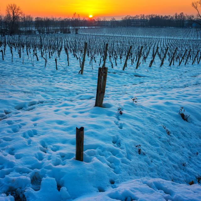 """Sunset on snowy vineyard"" stock image"