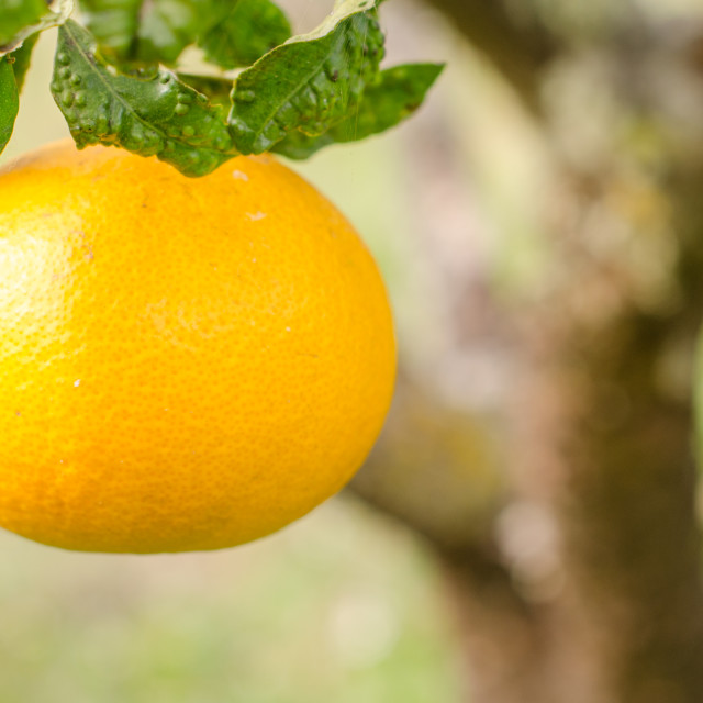 """Orange in foreground"" stock image"