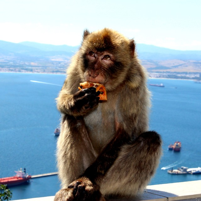 """Barbary Macaque"" stock image"