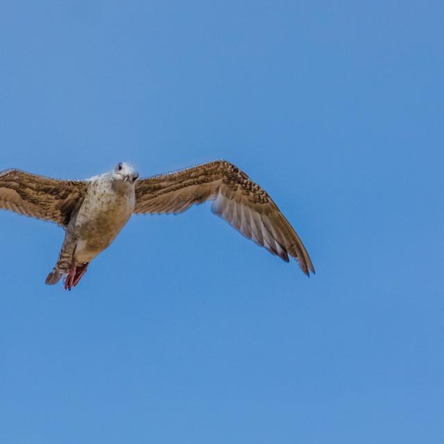 """Soaring Seagull"" stock image"