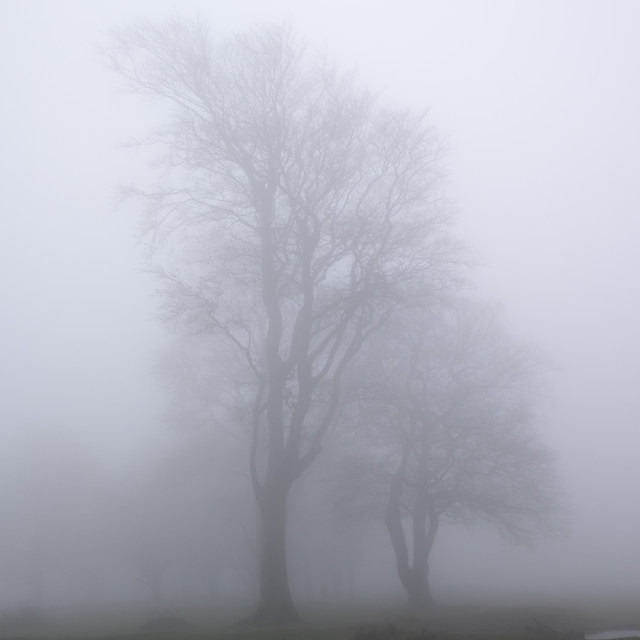 """Trees in mist"" stock image"