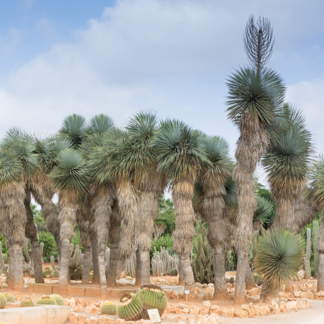"""""""Grove of palm trees and cacti"""" stock image"""