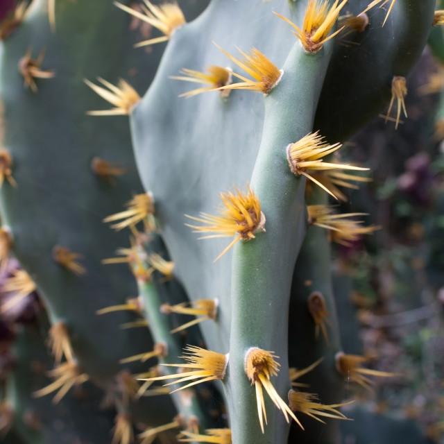 """Thorns on platyopuntia"" stock image"