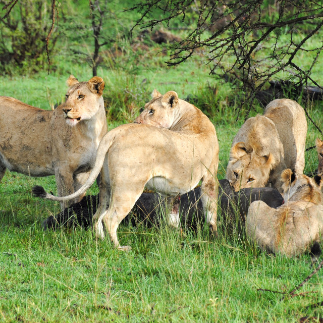 """Lions on a Kill"" stock image"