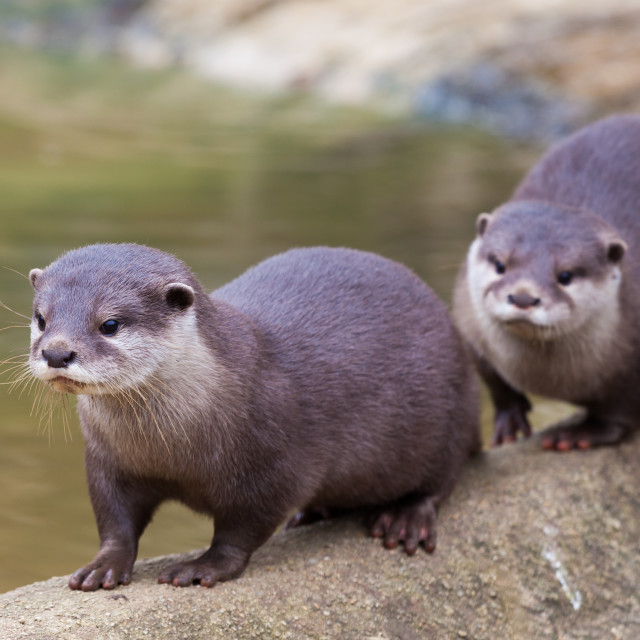 """Otters"" stock image"