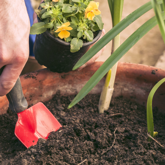 """""""Hands planting little flowers in a pot"""" stock image"""