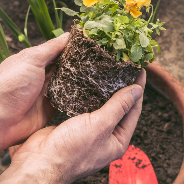 """Hands planting little flowers in a pot"" stock image"