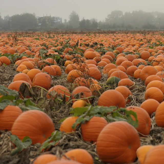 """Foggy Pumpkin Patch"" stock image"