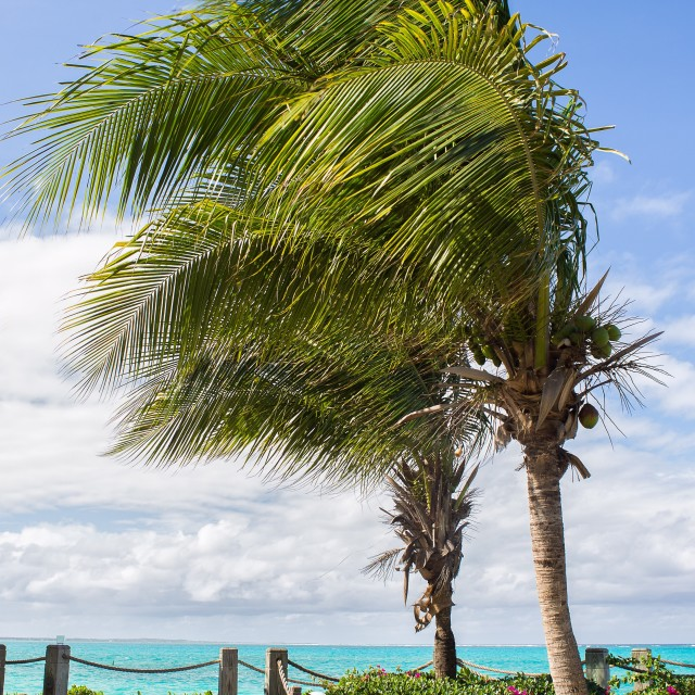 """Palm trees in the breeze"" stock image"