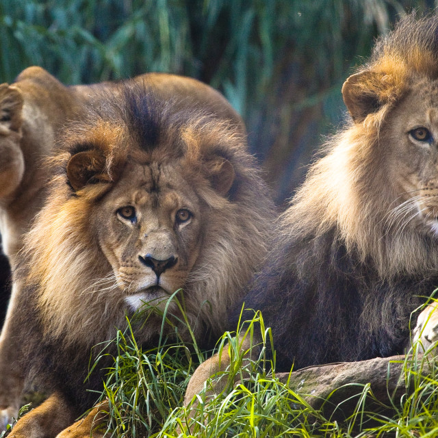 """Three Lions"" stock image"