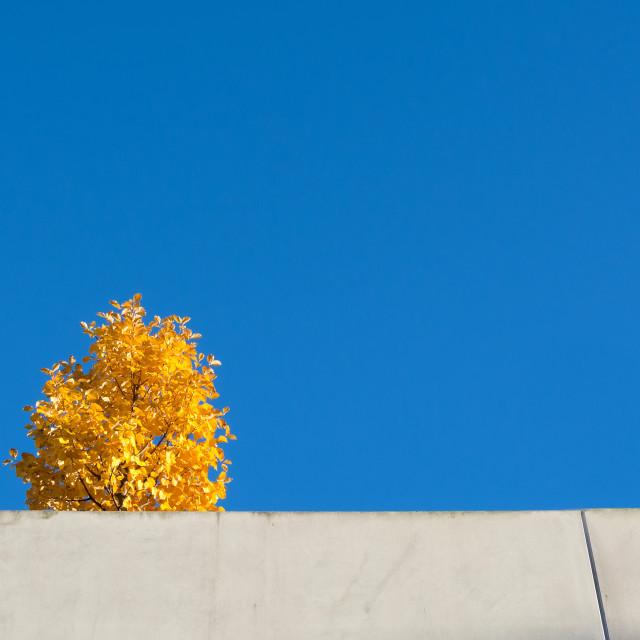 """""""Yellow tree blue sky"""" stock image"""