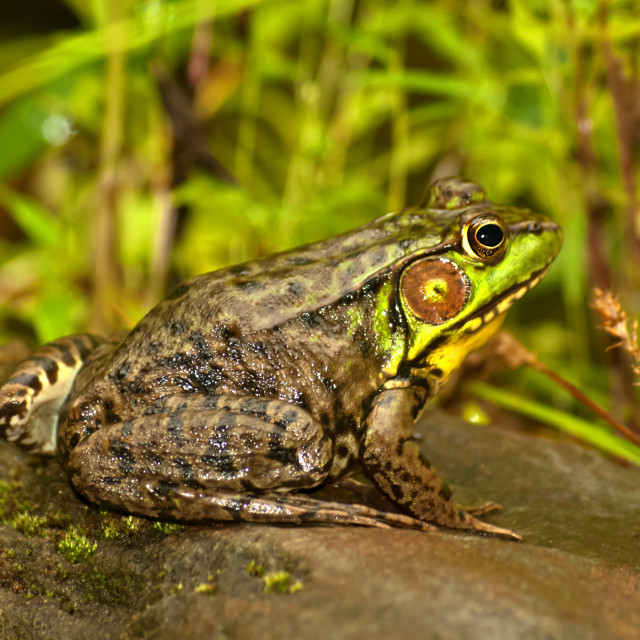 """little frog"" stock image"