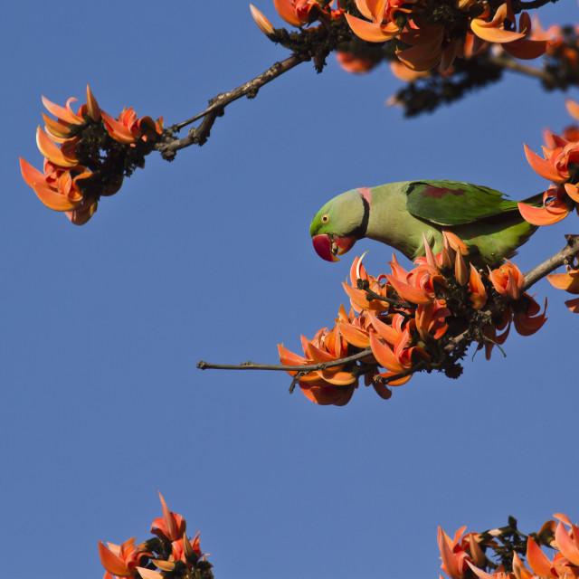 """Alexandrine parakeet at Bardia, Nepal"" stock image"